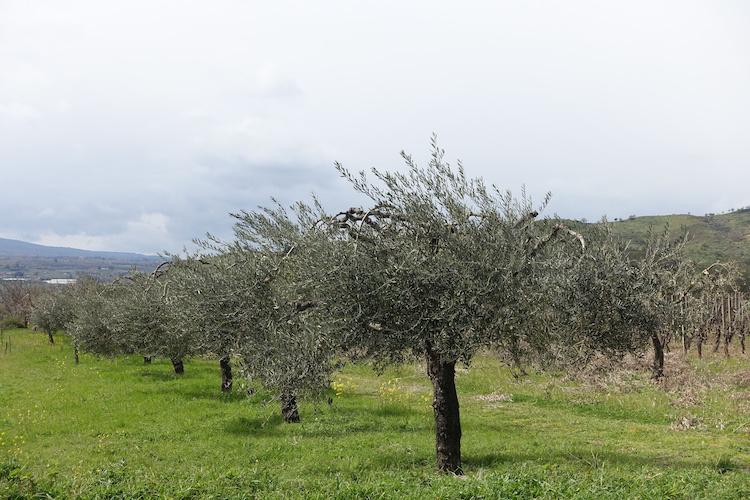 olivi-ulivi-filari-olivicoltura-by-bellux-adobe-stock-750x500