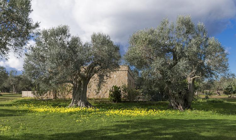 olivi-ulivi-olivo-ulivo-oliveti-uliveti-azienda-agricola-puglia-by-paolo-maria-airenti-adobe-stock-750x447