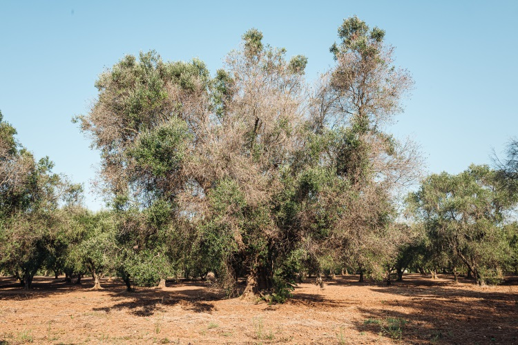 olivi-ulivi-xylella-salento-by-sabino-parente-adobe-stock-750x500