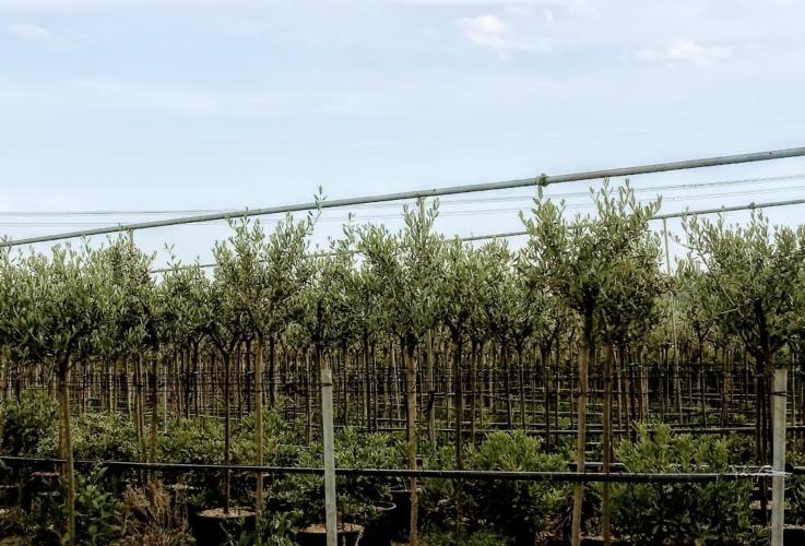olivi-vivaio-olivo-olivicoltura-vivaismo-by-matteo-giusti-agronotizie-jpg.jpg