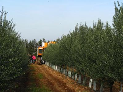 olivicoltura-super-intensiva-olivo-valenzano-2008-by_soihs_it.jpg