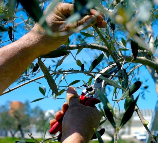 olivicoltura-xylella-olivo-oliviby-peuceta-fotolia-750