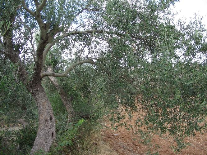 olivo-albero