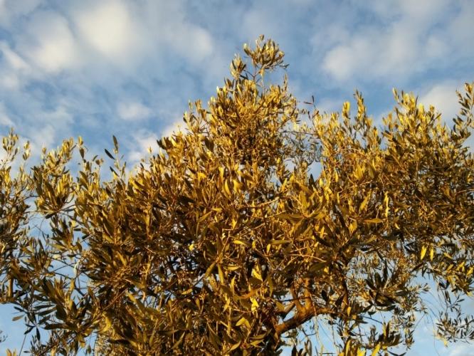 olivo-cielo-foglie-by-matteo-giusti-agronotizie