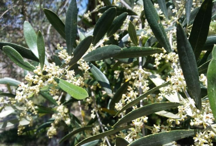 olivo-fiori-fioritura-allegagione-by-matteo-giusti-agronotizie-jpg