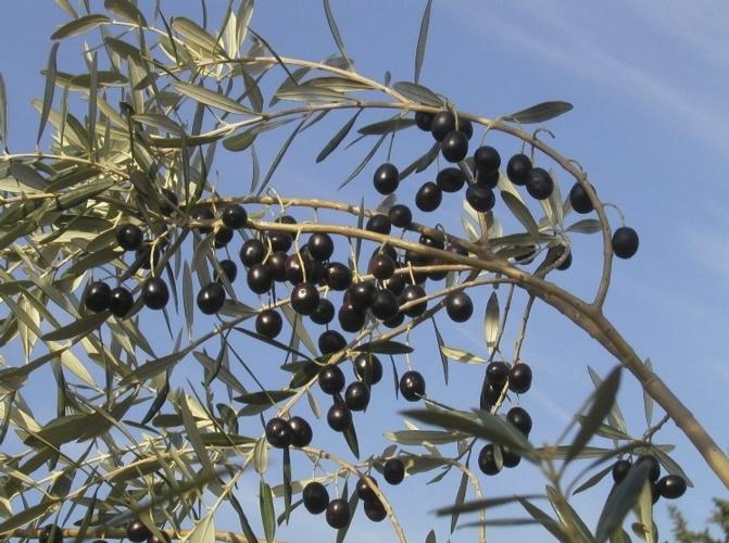 olivo-ks-agricoltura-ok
