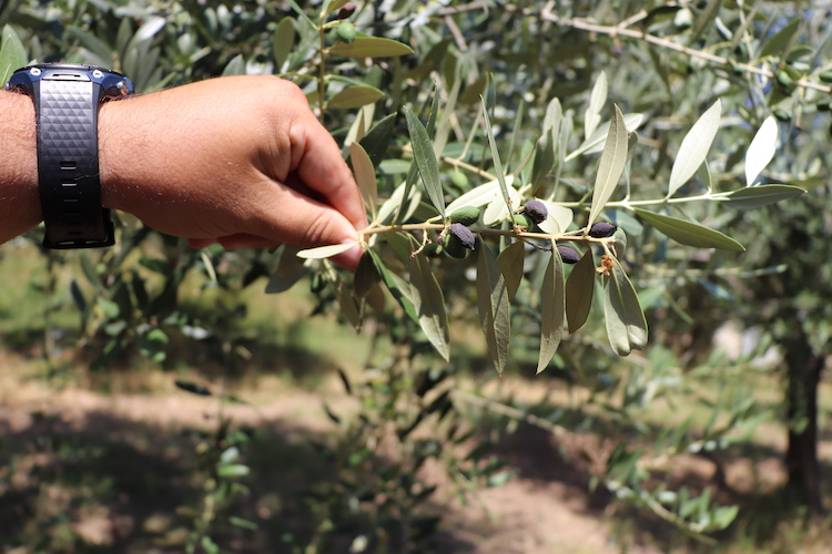olivo-olive-olivicoltura-malattia-olivi-veneto-dic-2020-fonte-tesaf-universita-padova
