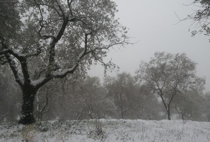 olivo-oliveto-neve-inverno-by-matteo-giusti-agronotizie-jpg.jpg