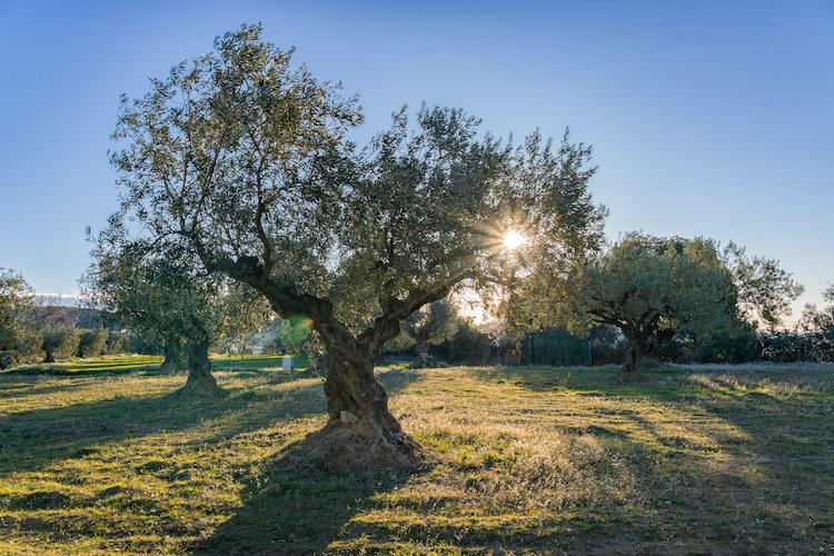 olivo-olivi-ulivi-olivicoltura-by-davidboixo-adobe-stock-750x500.jpeg