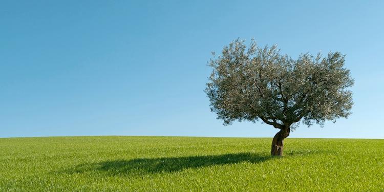 olivo-olivicoltura-albero-prato-by-giorgio-clementi-fotolia-750