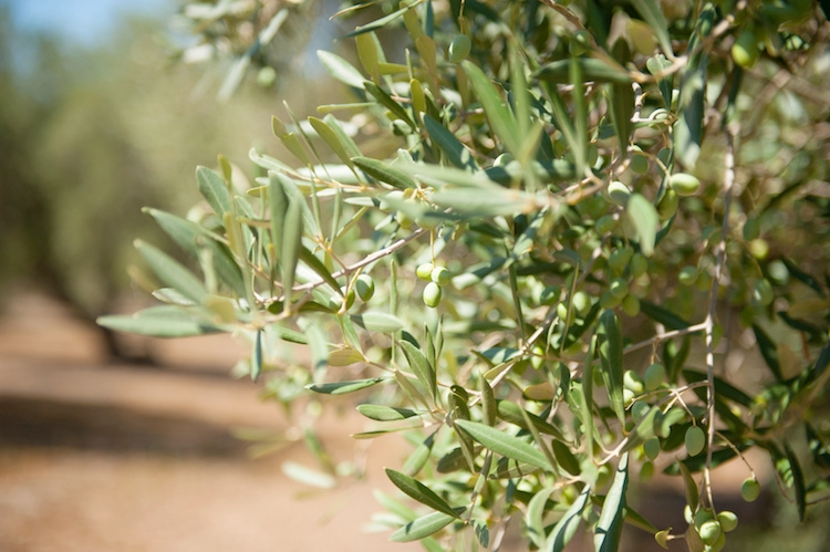 olivo-ramo-olive-ulivo-olivicoltura-by-fabioderby-fotolia-750.jpeg