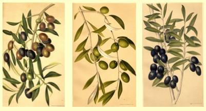 olivo-tavola-olio-seinolta-progetto-cra-oli.jpg