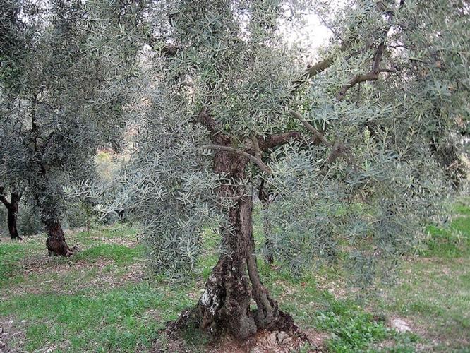 olivo-trano-olive-cultivar-itrana-fonte-wikipedia-pciarl
