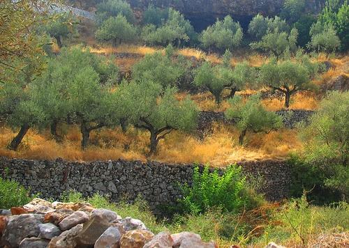 olivo-ulivi-alberi-tradizionale-grecia-500-byflickrcc20-byrdiegyrl