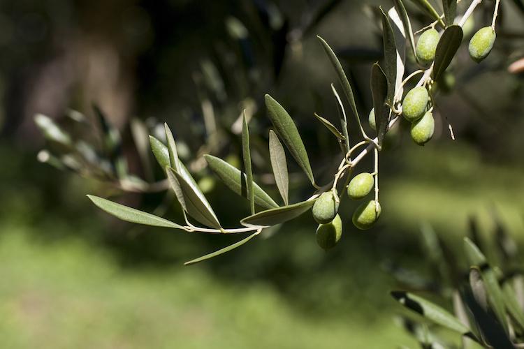 olivo-ulivo-ramo-olivicoltura-olive-by-giorgiape-adobe-stock-750x500
