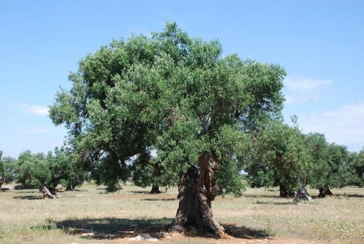 olivo-ulivo-salento-via-yellow-cat-byflickr-cc20-alcuni-diritti-riservati