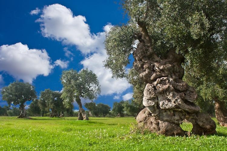 olivo-ulivo-secolare-monumentale-by-shjmyra-fotolia-750