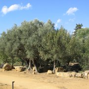 olivo_alberosusfondocieloazzurro_180x180