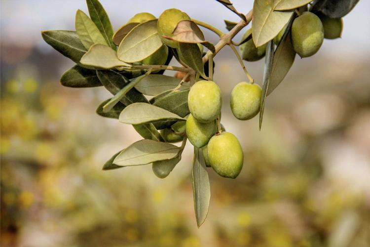 Olivo, fotografia di una crisi - Plantgest news sulle varietà di piante