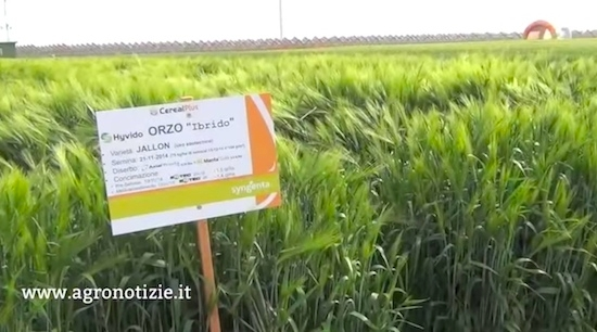 orzi-ibridi-jallon-syngenta-in-campo-2015