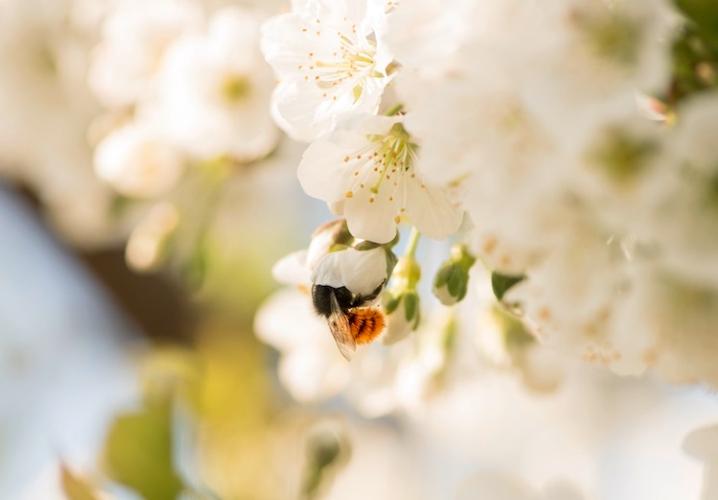 osmia-cornuta-su-fiore-di-ciliegio-fonte-pollinature-2019