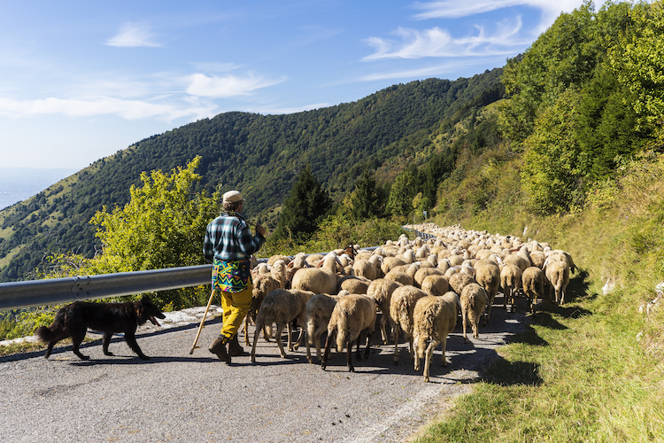 ovini-pecore-transumanza-allevamento-pastore-cane-by-maurizio-sartoretto-adobe-stock-750x500.jpeg