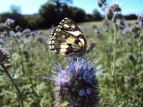 papillon-sur-phacelie-sarah-singla.jpg