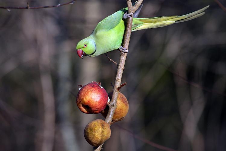 pappagallo-parrocchetto-dal-collare-mangia-mele-by-capnord-adobe-stock-750x500