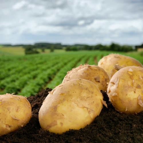 patate-patata-by-grecaud-paul-fotolia-750x750-2