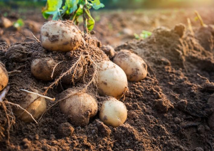 patate-patata-by-natara-fotolia-750