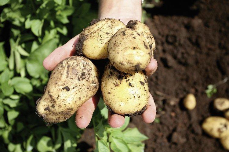 patate-terreno-fonte-icl