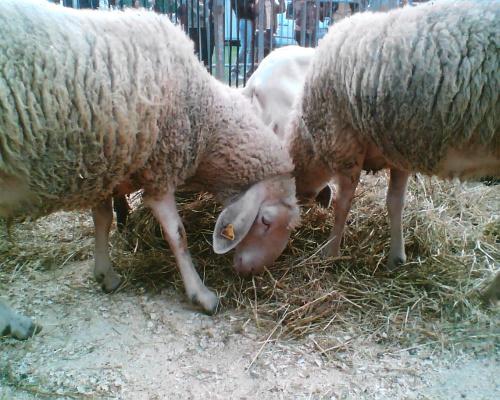 pecore-ag