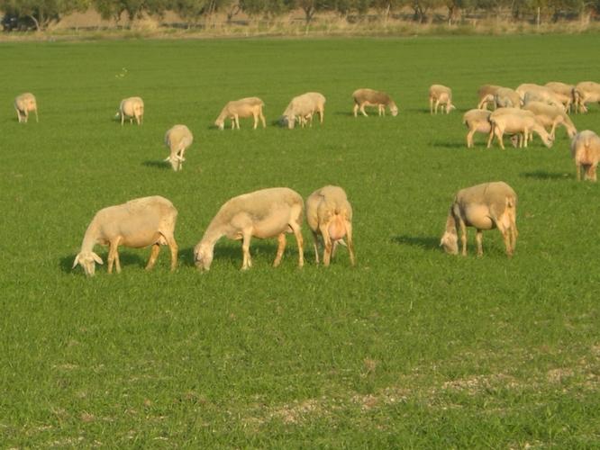 pecore-lacaune-rubrica-agroinnovatori-set-2020-fonte-azienda-agricola-zarrilli-domenico-e-figli