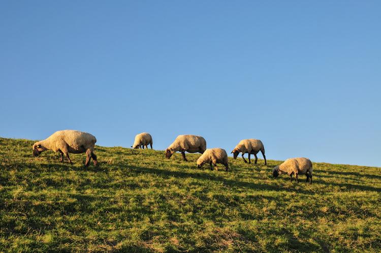 pecore-pascolo-pascoli-ovini-gregge-by-dirk-fotolia-750