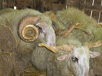 pecore-razza-modenese-fonte-associazione-rare