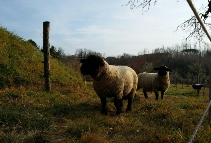 pecore-razza-suffolk-ovini-750-by-matteo-giusti-agronotizie