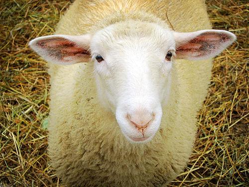 pecore_testa-duchamp