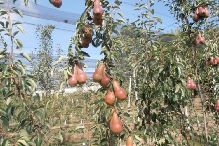 Pero, l'innovazione varietale parte da Apofruit - Plantgest news sulle varietà di piante