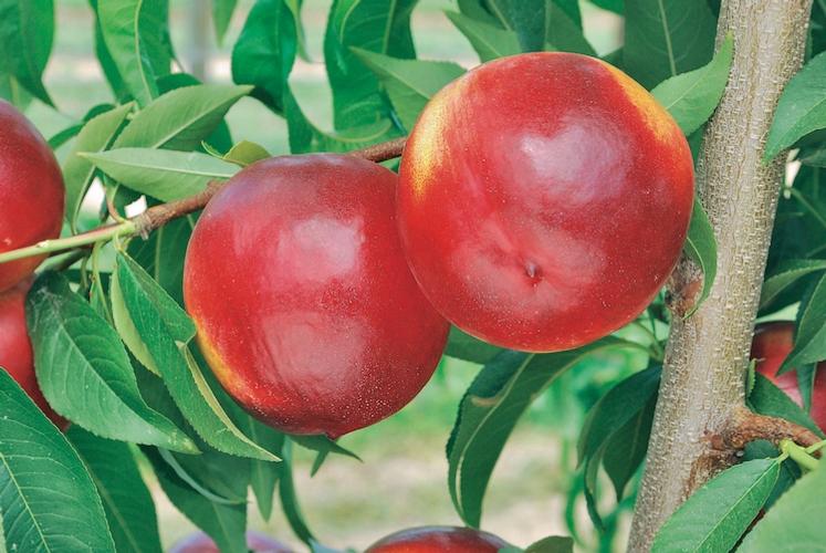 Un'ottima annata per le drupacee made in Geoplant - Plantgest news sulle varietà di piante