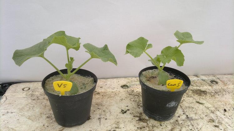 piante-di-melone-a-sinistra-controllo-a-destra-inoculato-al-trapianto-con-una-pastiglia-contenente-micorrize-arbuscolari-e-trichoderma-atroviride-apr-2019-fonte-universita-della-tuscia