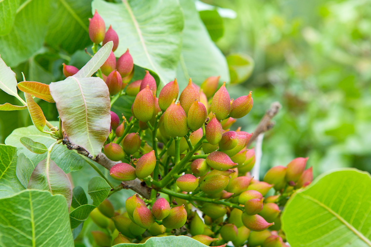 pistacchi-albero-di-pistacchio-by-okssi-fotolia-750x500