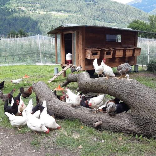 pollaio-su-ruote-allevamento-galline-avicoli-rubrica-agroinnovatori-apr-2021-fonte-azienda-agricola-anselmi