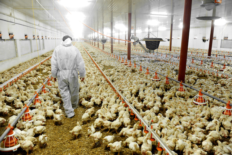 polli-allevamento-avicoli-avicoltura-by-roibu-fotolia-750