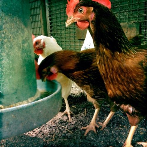 polli-galli-avicolo-by-nito-fotolia-750