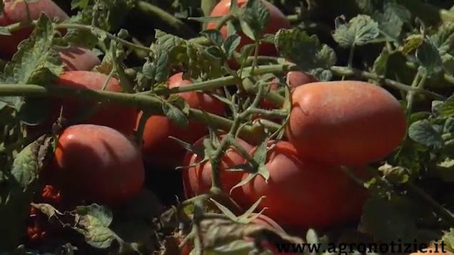 pomodori-azienda-cattivelli-agricoltura-di-precisione-fonte-barbara-righini.jpg