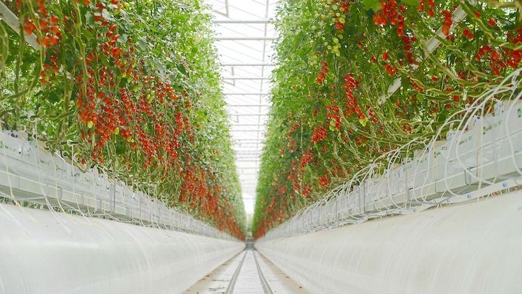 pomodori-fuori-suolo-idroponica-rubrica-agroinnovatori-flli-lapietra-mar-2021-fonte-azienda-agricola-flli-lapietra1