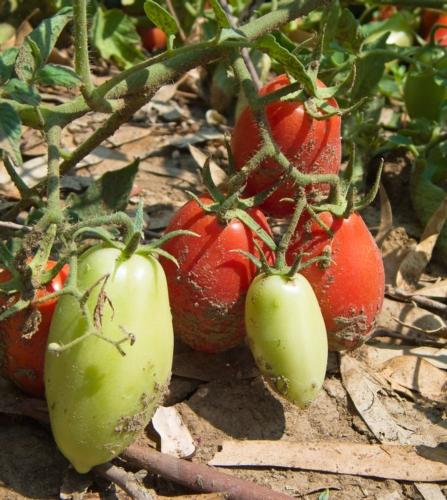 pomodori-lunghi-pianta-by-mi-ti-fotolia
