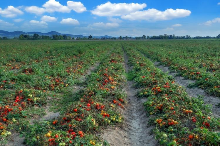 Pomodoro da industria: Apo Conerpo chiude in anticipo la campagna - Plantgest news sulle varietà di piante