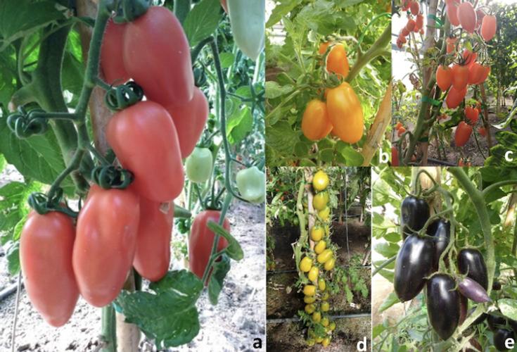 Tradizione e novità: nuovi colori nella bacca del pomodoro San Marzano - Plantgest news sulle varietà di piante