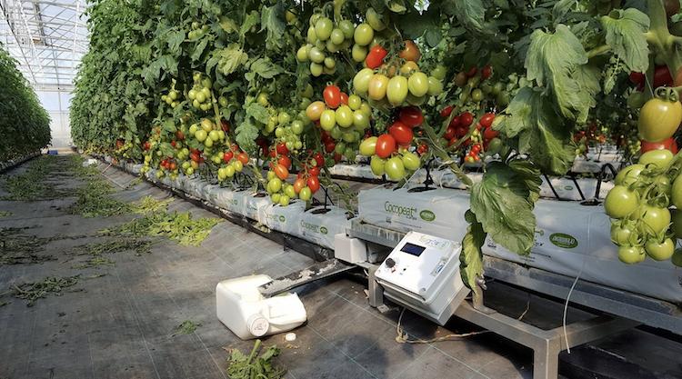 pomodori-sensore-lisygrow-art-gen-2021-magda-schiff-fonte-sicilmat